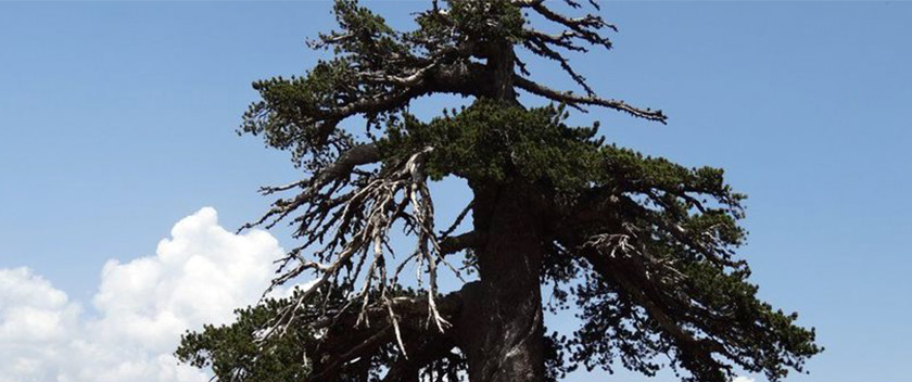 The Oldest Tree in Europe Found in Greece