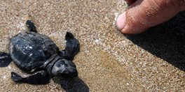 Seasons First Turtles Hatch on Zakynthos