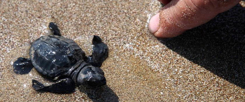 Newly hatched Caretta-caretta turtle